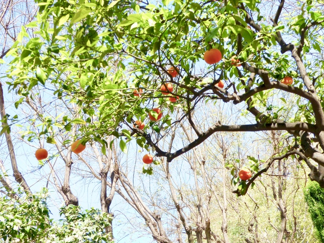 orangers-palma